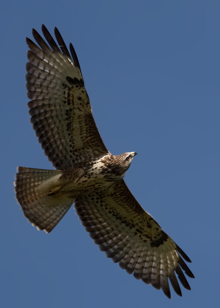 Greifvögel sind Akrobaten der Lüfte