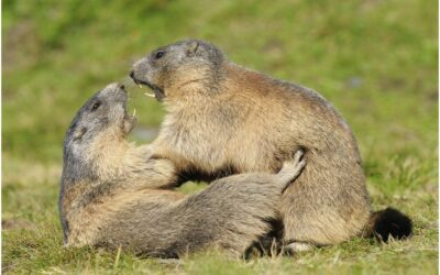 Kuscheln ist lebenswichtig – Murmeltiere im Königstal belauscht